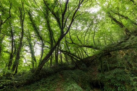 hornbeam: Hornbeam temperate forest in south west France near Bordeaux