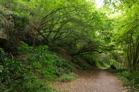 hornbeam: Path in a Hornbeam temperate forest in south west France near Bordeaux Stock Photo