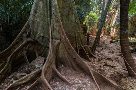 undergrowth: Huge fig tree trunk in jungle undergrowth in Ao Nang, Krabi, Thailand