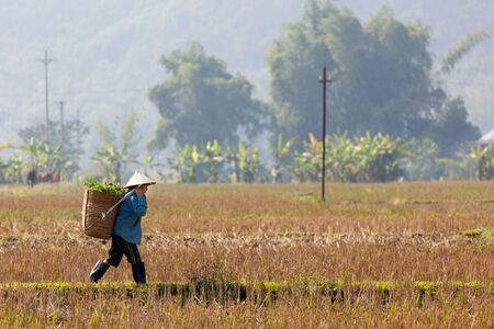 tiring: MAI CHAU, VIETNAM, DECEMBER 20, 2014 : A farmer is carrying a basket of fodder in the harvested rice field in the village of Mai Chau, Vietnam.