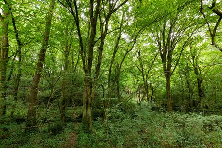 temperate: Hornbeam temperate forest in south west France near Bordeaux