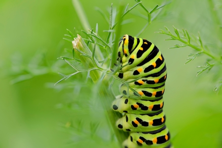 pupation: Caterpillar of the Papilio Machaon swallowtail butterfly on a fennel stem