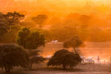 herdsman: Pagoda landscape under a warm sunset in the plain of Bagan, Myanmar (Burma) Stock Photo