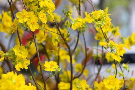 yellow flower tree: Hoa Mai tree (Ochna Integerrima) flower, traditional lunar new year in Vietnam