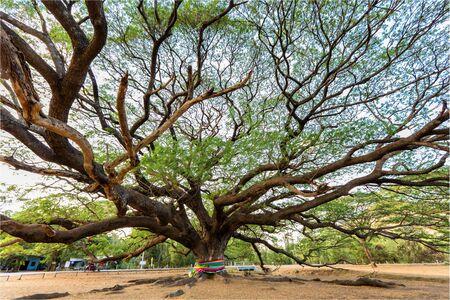 huge tree: Huge and old Albizia Saman tree in the Kanchanaburi province, Thailand Stock Photo