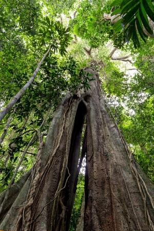 El enorme árbol de Banyan 500 años de antigüedad en el bosque de la isla Ko Kood, Tailandia Foto de archivo