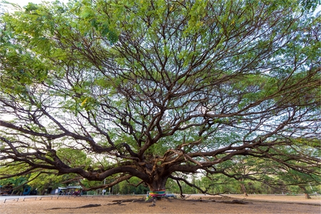 power giant: Huge and old Albizia Saman tree in the Kanchanaburi province, Thailand Stock Photo