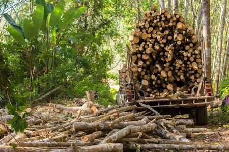 exploitation: Rubber tree forestry, cutting the tree for industrial exploitation in south Thailand. Stock Photo