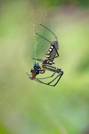 golden orb weaver: Tropical giant orb spider eating a bee