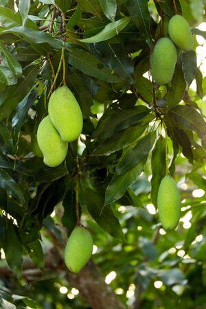 Unripe mangoes fruits on tree Stock Photo