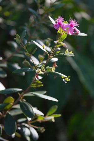 myrtaceae: Myrtus tropical bush in blossom, Rhodomyrtus Tomentosa species, found wild in Thailand