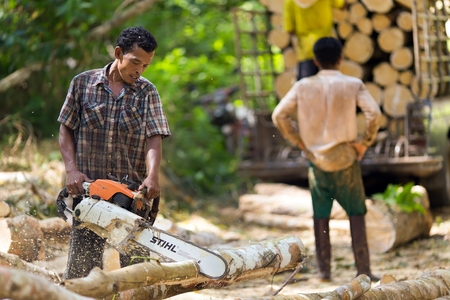 timber harvesting: Lumberjack cutting rubber tree with chainsaw for industrial exploitation in south Thailand.