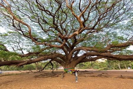 branche: Femme debout devant un arbre Albizia Saman géant dans la province de Kanchanaburi, Thaïlande