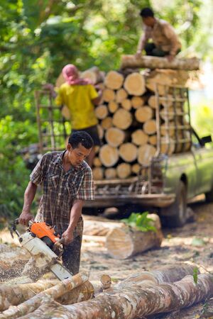 exploitation: TRANG, THAILAND, JANUARY 12, 2016 : Lumberjack cutting rubber tree with chainsaw for industrial exploitation in Trang, south Thailand.