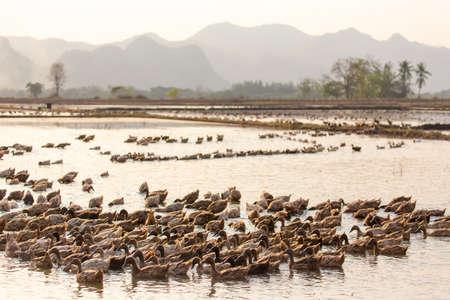 farm ducks: Farm ducks group swimming in the muddy pond in Kanchanaburi, Thailand