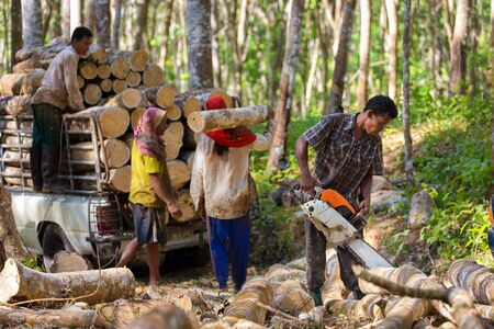 forest trees: Lumberjack cutting rubber tree with chainsaw for industrial exploitation in south Thailand.