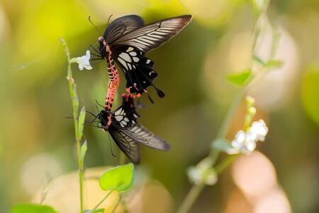reproduction: Couple of tropical butterflies, Papilio Helenus, breeding, Thailand
