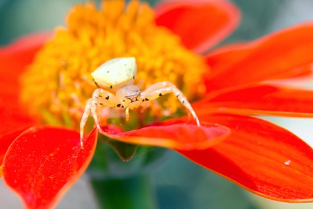 thomisidae: Crab spider waiting the prey in a flower