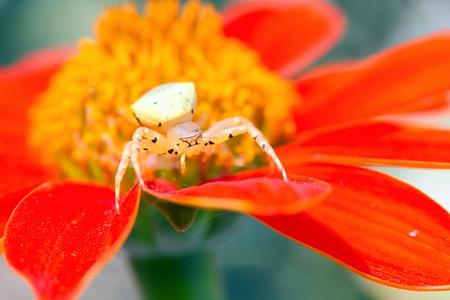 arachnidae: Crab spider waiting the prey in a flower