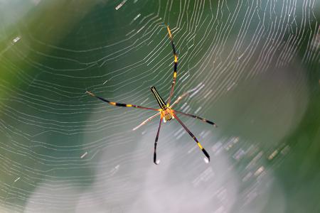 psyche: Flaco araña de jardín bajo la luz del sol en esta web