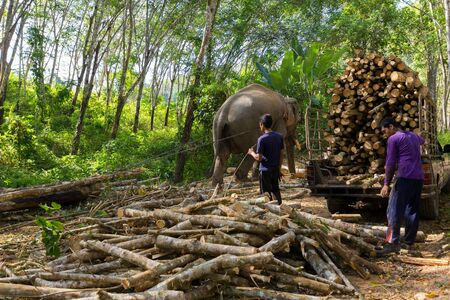 lumberman: TRANG, THAILAND, JANUARY 12, 2016 : Elephant pulling a tree with chains, helping the workers to harvesting the rubber tree forest in Trang, Thailand Editorial