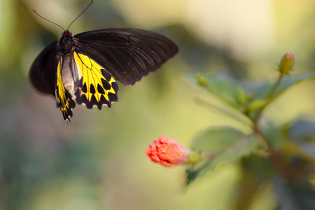 Golden birdwing butterfly motion in flight Imagens