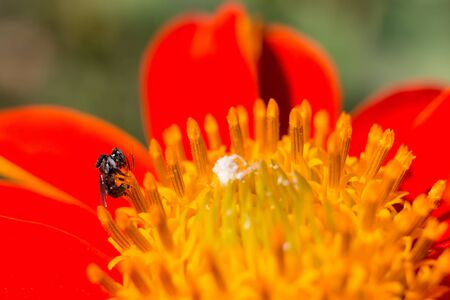 stamen wasp: Tiny black bee gathering pollen on a flower Stock Photo
