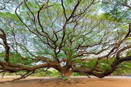 century: Giant Albizia Saman tree in the Kanchanaburi province, Thailand