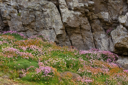 flowered: Flowered rocky coastline with Armeria Maritima flowers in Brittany, France