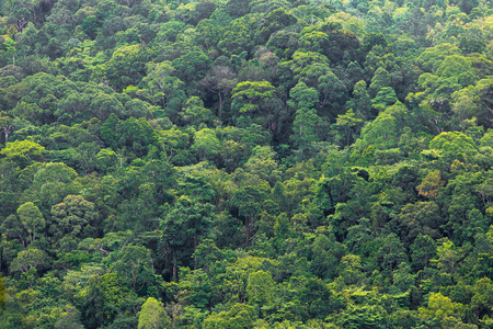Tropical rainforest in the kubah national park, Malaysia, Borneo