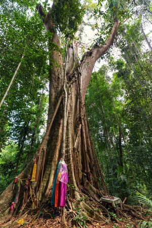 power giant: The huge 500 years old Banyan tree in the Ko Kood island forest, Thailand
