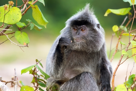 silvered: Silvered leaf monkey eating figs on the tree, Bako National Park, Malaysia, Borneo
