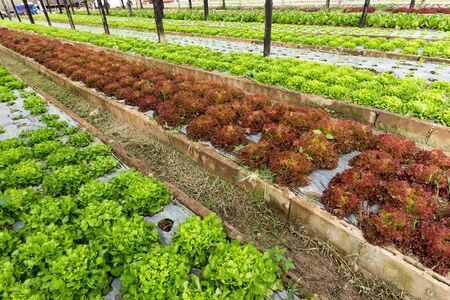 asian produce: Organic lettuce field near chiang Mai, Thailand