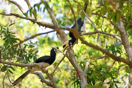 pied: Couple of Hornbill Anthracoceros albirostris standing on a branch in the Koh Tarutao island jungle, Thailand