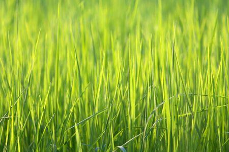 green lines: Blades of rice grass in a Thai farm