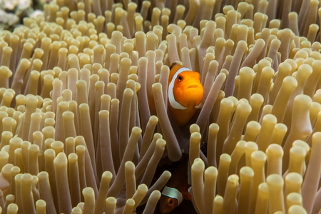 Clownfish Amphiprion Ocellaris hidden in sea anemone, Indonesia