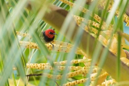 Crimson sunbird standing on palm tree branch, Banda Neira, Indonesia