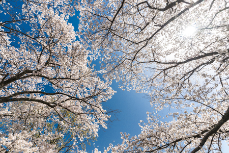 Wild cherry tree full bloom in Japan over blue sky.