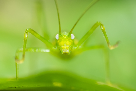 Green katydid close portrait standing on a leaf in Indonesian jungle
