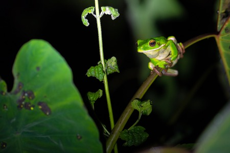 White-lipped tree frog (Litoria infrafrenata) croaking at night, this is the bigger tree frog in the world, Aru islands, Papua, Indonesia