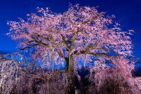 The famous old cherry tree in full bloom at evening in the Maruyama park in Kyoto, Japan