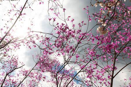 Cherry tree full pink bloom in Japan over dramatic stormy sky. Zdjęcie Seryjne