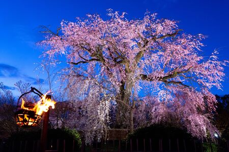 The famous old cherry tree in full bloom at evening in the Maruyama park in Kyoto, with fire, Japan 免版税图像