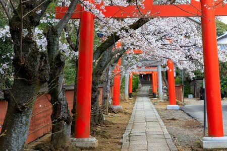 Large torii gate in Kyoto with cherry tree blossom at spring, Japan