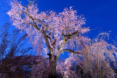 The old pinky cherry tree in full bloom at evening in the Maruyama park in Kyoto, Japan Zdjęcie Seryjne