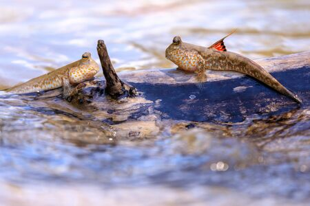 Mudskipper fishes standing on a mangrove tree branch, Thailand