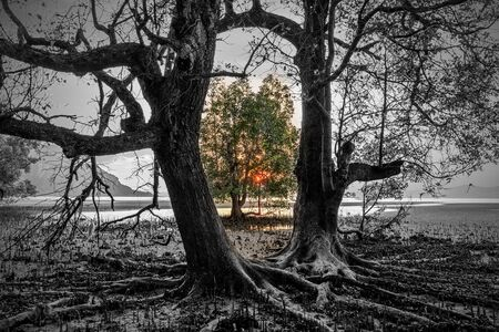 Mixed black and white photo of huge mangrove tree with colorful sunset, Thailand