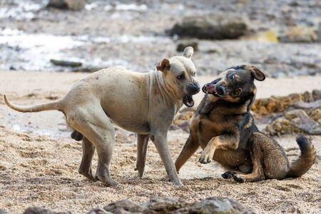 Two wild dogs are playing and fighting on a rocky beach in Thailand Фото со стока