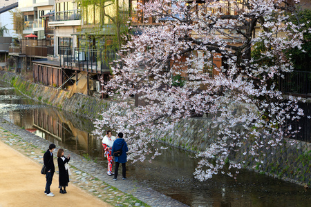 KYOTO, JAPAN, APRIL 3, 2019 : Tourists are walking along the canal, taking pictures under a large flowered cherry tree at spring .