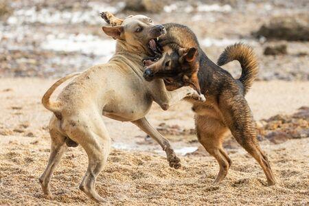 Dos perros salvajes están jugando y peleando en una playa rocosa en Tailandia